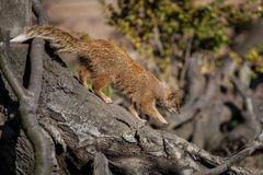 желтый цвет mongoose Стоковые Изображения