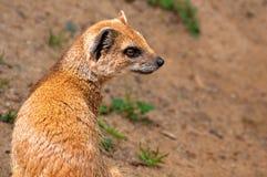 желтый цвет mongoose стоковые фотографии rf