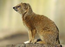 желтый цвет mongoose Стоковое фото RF