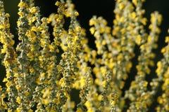 Желтый цвет Mullein яркий цветет Verbascum стоковые изображения rf