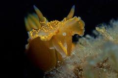 Желтый цвет Nudibranch Стоковое фото RF