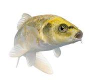 желтый цвет ogon koi cyprinus carpio Стоковая Фотография RF