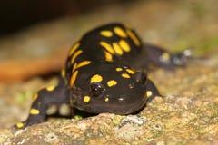 желтый цвет ontario haliburton запятнанный salamader стоковая фотография
