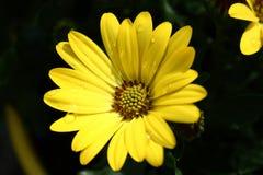 Желтый цвет Osteospermum Стоковое Фото