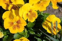 желтый цвет pansies Стоковое Изображение