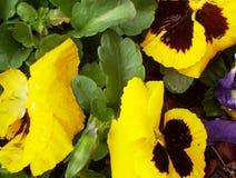 желтый цвет pansies Стоковые Изображения RF
