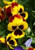 желтый цвет pansy Стоковая Фотография RF