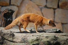 желтый цвет penicillata mongoose cinyctis Стоковая Фотография RF