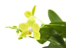 желтый цвет phalaenopsis орхидеи Стоковые Фотографии RF