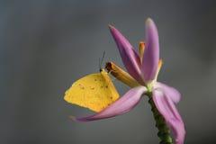 желтый цвет phoebis philea бабочки Стоковое Изображение
