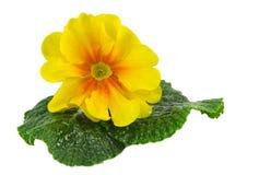 желтый цвет polyanthus Стоковая Фотография
