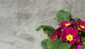 желтый цвет primula цветков розовый Стоковое фото RF