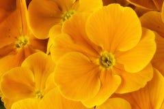 желтый цвет primula стоковые фото
