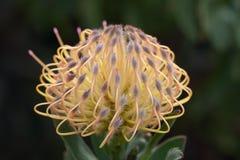 желтый цвет protea цветка Стоковое Изображение RF