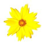 желтый цвет pubescens coreopsis изолированный цветком стоковое фото rf