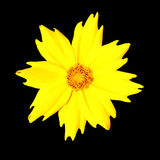 желтый цвет pubescens coreopsis изолированный цветком стоковое изображение rf