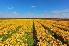 желтый цвет ranunculus цветков полей Стоковое Фото