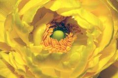 желтый цвет ranunculus Стоковые Фотографии RF
