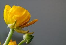 желтый цвет ranunculus Стоковые Фото
