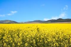 желтый цвет rapeseed поля Стоковые Фотографии RF