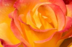 желтый цвет ros крупного плана розовый стоковое изображение