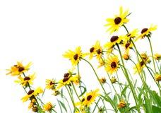желтый цвет rudbeckia Стоковая Фотография