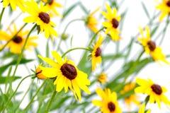 желтый цвет rudbeckia стоковое изображение