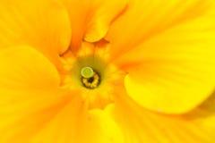 желтый цвет stamen макроса Стоковые Изображения RF