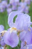 желтый цвет stamen цветка лиловый Стоковые Фотографии RF