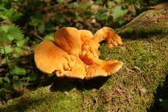 желтый цвет sulphureus серы laetiporus грибка кронштейна Стоковая Фотография RF