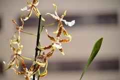 Желтый цвет Tessa Brassia орхидеи и фотоснимок Брайна различных цветков на ручке Биология Phytology Botanica орхидеи природы цвет Стоковая Фотография