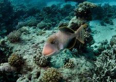 желтый цвет triggerfish допустимого предела стоковая фотография
