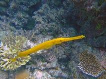 желтый цвет trumpetfish Мальдивов Стоковые Фото