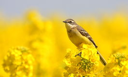 желтый цвет wagtail стоковое фото