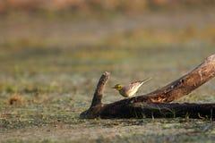 желтый цвет wagtail Стоковые Изображения RF