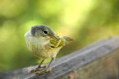 желтый цвет warbler galapagos Стоковое Изображение RF