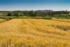 желтый цвет weath поля стоковое фото