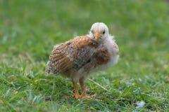 Желтый цыпленок стоковое изображение rf