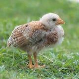 Желтый цыпленок стоковое фото