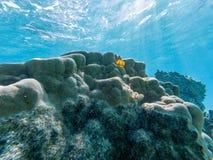 Желтый червь рождественской елки на трудном коралле Стоковая Фотография RF