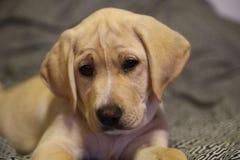 Желтый щенок лаборатории Стоковое Изображение