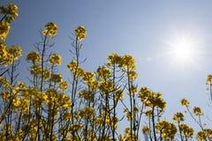 Желтый blossoming рапс Стоковое Фото