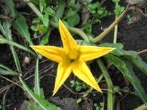 Желтый blossoming тыквы Стоковые Фотографии RF