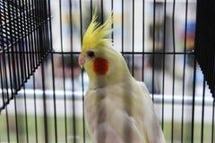 Желтый cockatiel в клетке стоковые фотографии rf