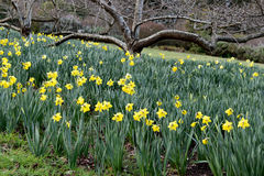 Желтый daffodil цветка стоковое фото