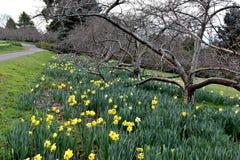 Желтый daffodil цветка стоковые изображения rf