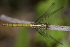 Желтый dragonfly Стоковое Изображение
