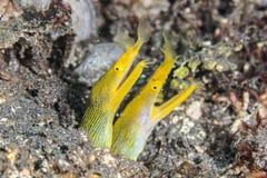 Желтый eel тесемки Стоковые Фото