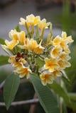 Желтый frangipani цветет, в саде, версия 10 Стоковые Изображения RF