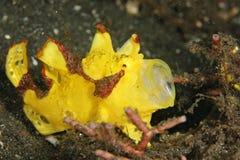 Желтый frogfish клоуна Стоковые Изображения RF